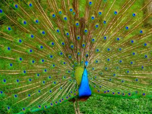 one-friendly-peacock-at-the-bird-park-kuala-lumpur-malaysia+1152_12952380932-tpfil02aw-8497