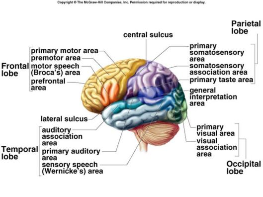 da64c41efc52765752ec2cbddc60b359--frontal-lobe-function-nursing-notes